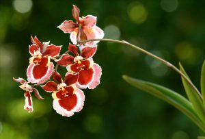 Oncidium Orchideen