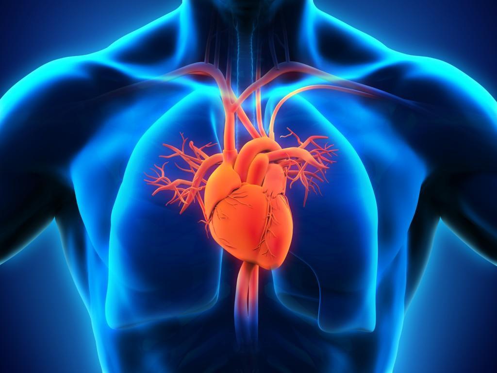 Wie funktioniert das Herz - Wie-funktioniert.com